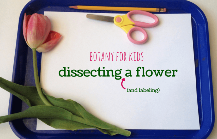 "Learn the ins and outs of the parts of a plant with this ""dissection"" activity."