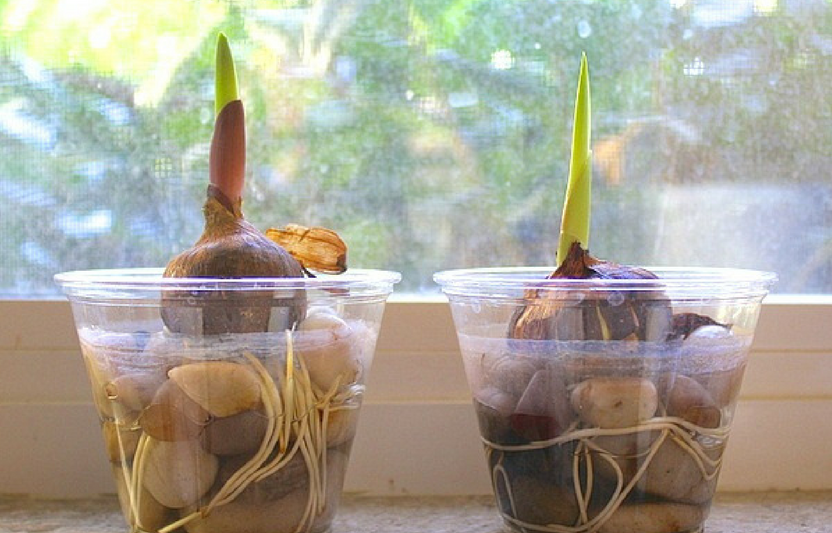Planting a bulb in a clear cup helps kids learn about the science behind how plants thrive.
